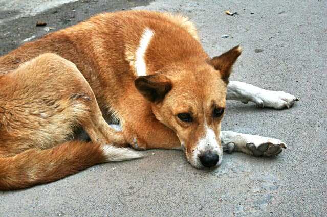 feed street dogs in india