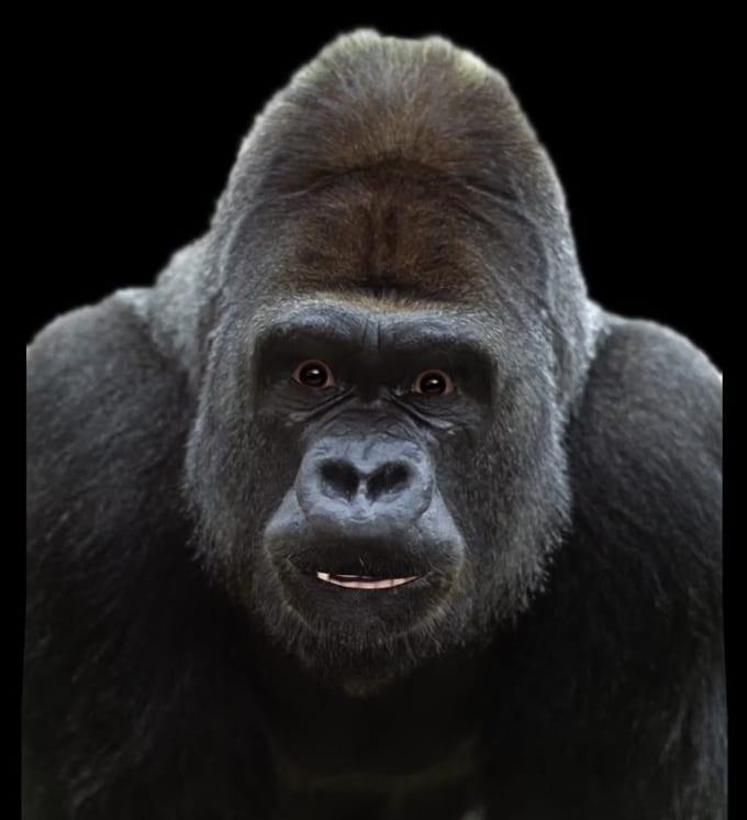Commision Gorilla