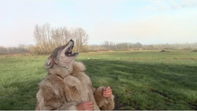 coyote_bob_1
