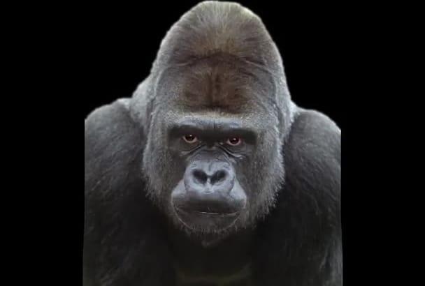 do a Gorilla Voice Over
