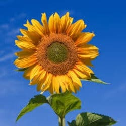 sun_flowers