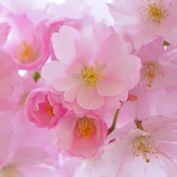 blossom2008