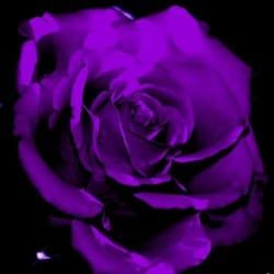 violet_roses