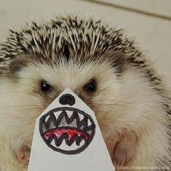 misshedgehog