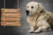 labrador retriever long hair dog advertisement
