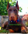 provide any photograph you need with my Doberman Pinscher